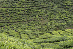 Tea plantations on Cameron Highlands. Tanah Rata, Malaysia. Stock Photography