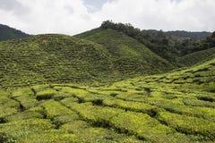 Tea plantations on Cameron Highlands. Tanah Rata, Malaysia. Stock Images