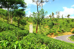 Tea plantations in Ceylon Stock Photography