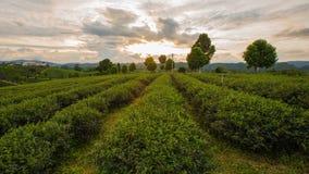Tea Plantations at ChangRai Highlands, Thailand. Tea Plantations at ChangRai Highlands during sunset royalty free stock photos