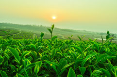 Tea Plantations. In Chiangrai, Thailand Royalty Free Stock Photos
