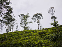 Tea plantations close to Haputale, Sri Lanka Royalty Free Stock Images
