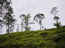 Tea plantations close to Haputale, Sri Lanka Royalty Free Stock Images