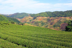 Tea plantations at Doi Mae Salong. Photo be taked at Doi Mae Salong, the mountain of many tea plantations in Thailand royalty free stock photo