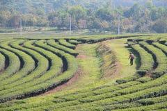 Tea Plantations. Tea Plantations on hill Royalty Free Stock Photos