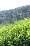 Tea plantations on the hill Stock Photo