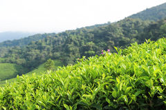 Tea plantations on the hill Royalty Free Stock Image