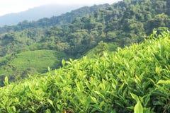 Tea plantations on the hill Stock Photos