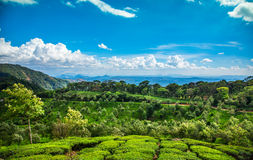 Tea plantations in India Royalty Free Stock Photo