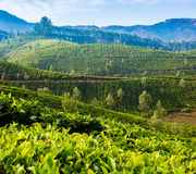 Tea plantations in India Royalty Free Stock Images