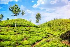 Tea plantations in India Stock Photography