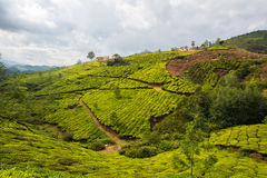 Tea plantations Royalty Free Stock Images