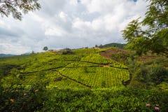 Tea plantations Stock Photography