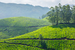 Tea plantations, Kerala Royalty Free Stock Images