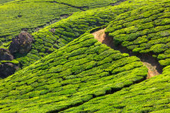 Tea plantations, Kerala Stock Image