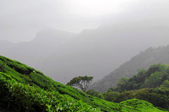 Tea plantations in Kerala Stock Photography