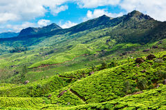 Tea plantations in Kerala, India. Tea plantations in Munnar, Kerala, India royalty free stock photo