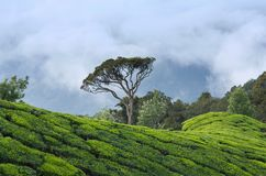 Tea plantations in Kerala, South India. Lone tree over Tea plantations in Munnar, Kerala, South India royalty free stock photos