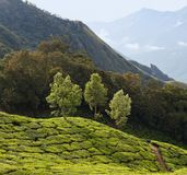 Tea plantations in Kerala, South India Stock Photo