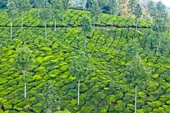 Tea plantations in Kerala, South India Royalty Free Stock Photos