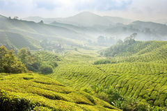 Tea Plantations in Malaysia. Royalty Free Stock Image
