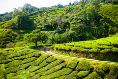 Tea plantations in Malaysia Stock Photography