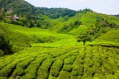 Tea plantations in Malaysia Stock Photos