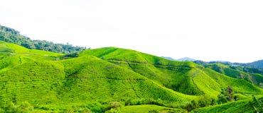 Tea plantations in Malaysia Stock Image