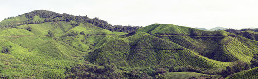 Tea plantations in Malaysia Stock Images