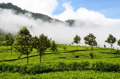 Tea plantations in the mist Stock Photo