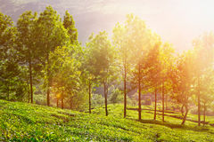 Tea plantations in morning Royalty Free Stock Photos