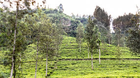 Tea plantations and mountain. Green tea plantation on the hill which ends with rock Stock Photos