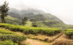 Tea plantations and mountain. Landscape view of tea plantation and the mountain on background Stock Photos