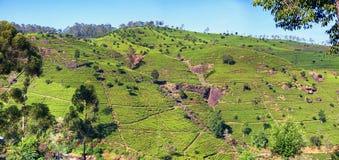 Tea plantations on the mountain Royalty Free Stock Photos
