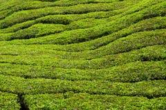 Tea plantations munnar india Royalty Free Stock Photo
