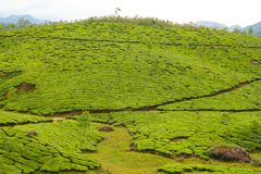 Tea plantations munnar india Stock Photo