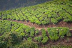 Tea plantations in Munnar, Kerala, India Royalty Free Stock Photography