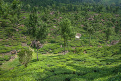 Tea plantations in Munnar, Kerala, India stock image