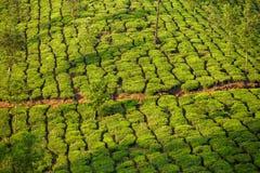 Tea plantations in Munnar Stock Photo