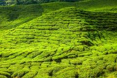 Tea plantations in Munnar, Kerala, India Royalty Free Stock Images