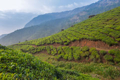 Tea plantations in Munnar, Kerala, India royalty free stock image