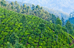 Tea plantations in Munnar, Kerala, India Stock Photos