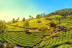 Tea plantations in Munnar, Kerala, India. Stunning views of green hills with blue sky royalty free stock image
