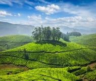 Tea plantations Royalty Free Stock Image