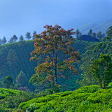 Tea plantations in Munnar, Kerala, South India Stock Images