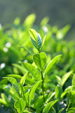Tea plantations in Munnar, Kerala, South India Stock Photography