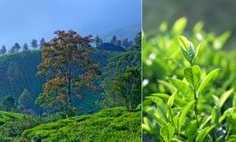Tea plantations in Munnar, Kerala, South India Stock Image