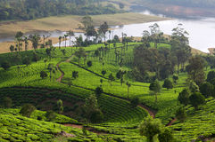 Tea plantations in Munnar, Kerala, South India. Munnar is situated at around 1,600 metres above sea level in the Western Ghats range of mountains Royalty Free Stock Photos