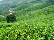 Tea plantations. Tea plantations in Munnar  Kerala, SouthIndia Royalty Free Stock Image