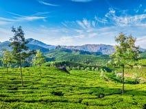 Tea plantations, Munnar, Kerala state, India Royalty Free Stock Image